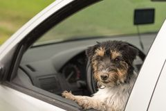 Den lilla hunden ser ut ur bilfönstret - den stålarrussell terriern royaltyfria foton