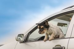 Den lilla hunden ser ut ur bilfönstret - den stålarrussell terriern arkivbilder