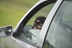 Den lilla hunden ser ut ur bilfönstret - den stålarrussell terriern 2 gamla år royaltyfria bilder