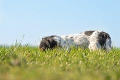 Den lilla Jack Russell Terrier hunden spårar en slinga och har hans näsa på jordningen i den högväxta gräsind-framdelen av blå hi royaltyfria bilder