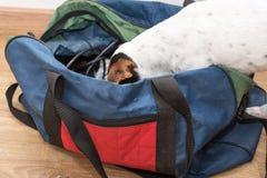 Den lilla Jack Russell Terrier vovven har hans huvud i en påse inomhus royaltyfria foton