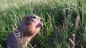 Den lilla jordekorren sitter i gräset och knaprar eller äter en morot lager videofilmer