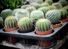 Den lilla kaktuns på naturlig bakgrund för kruka Arkivfoto