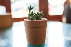 Den lilla kaktuns på tabellen Arkivbild