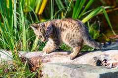 Den lilla katten Arkivfoto