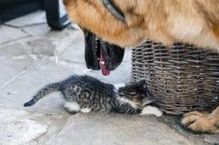 Den lilla katten spelar med en stor hund royaltyfria foton