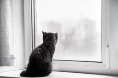 Den lilla kattungen är ledsen på fönstret, väntanlyxfnask skotte Shorthair Royaltyfri Fotografi