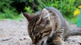 Den lilla kattungen äter bröd arkivfilmer