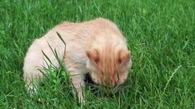 Den lilla kattungen äter fisken stock video