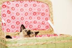 Den lilla kattungen döljer i tvättkorgen med den rosa bakgrunden royaltyfri foto