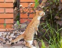 Den lilla kattungen sniffar Arkivbilder