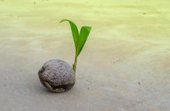Den lilla kokosnöten gömma i handflatan växer under solen i sommar av ferie Royaltyfria Foton