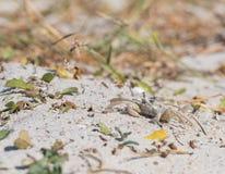 Den lilla krabban jäktar över sand royaltyfri bild