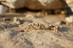 Den lilla krabban ser i en kammare Arkivfoto