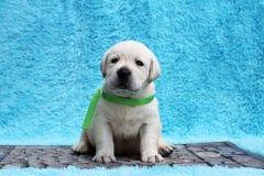 Den lilla labrador valpen på en blå bakgrund Arkivfoton