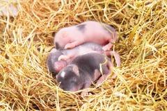 Den lilla musen behandla som ett barn i rede Arkivbild