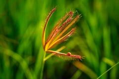 Den lilla nyckelpigan går på överkanten av blomninggräs Arkivbilder