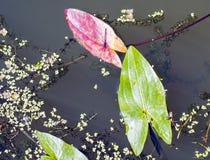 Den lilla rödögda DamselflyErythromma viridulumen arkivfoto