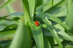Den lilla röda skalbaggen sitter på det gröna bladet Fotografering för Bildbyråer