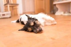 Den lilla roliga gulliga Jack Russell Terrier hunden ligger på sidan på jordningen arkivbild