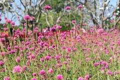 Den lilla rosa färgen blommar i trädgård arkivfoto