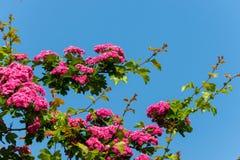 Den lilla rosa färgen blomstrar med gröna sidor på frodiga massiva filialer Arkivbild