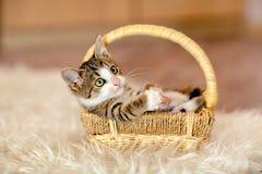 Den lilla rutiga kattungen är, i korgen och att se upp till aet Royaltyfri Bild