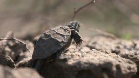 Den lilla sköldpaddan cramberring upp lager videofilmer