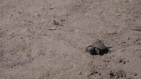Den lilla sköldpaddan går på jordningen arkivfilmer