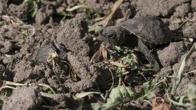 Den lilla sköldpaddan går på jordningen lager videofilmer