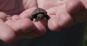 Den lilla sköldpaddan vaknar i de mänskliga händerna för ` s stock video