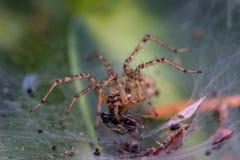 Den lilla spindeln äter en fluga arkivfoton