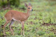 Den lilla Steenbokkvinnlign som försiktigt går över öppet, torkar jordning Arkivfoton