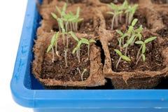 Den lilla tomatväxten som är fullvuxen i en blått, kärnar ur tra Arkivbilder