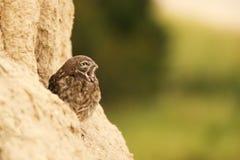 Den lilla ugglan som kikar ut ur hans hål med den öppna näbb på en härlig bakgrund Arkivbild