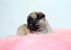 Den lilla valpen av en beige mops sitter på en rosa kudde Arkivfoto