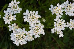 Den lilla vintergröna blomman för vita blommor som cirklar iberissempervirens, tillhör familjbrassicaceaen fotografering för bildbyråer