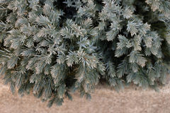 Den lilla vintergröna busken Royaltyfri Fotografi