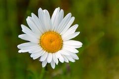 Den lilla vita blomman Royaltyfria Bilder