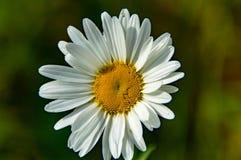 Den lilla vita blomman 4 Arkivfoto