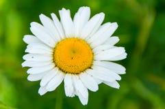 Den lilla vita blomman 2 Royaltyfri Fotografi