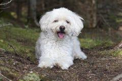 Den lilla vita hunden som flåsar som det, tar en vila på en Forest Walk Royaltyfria Bilder