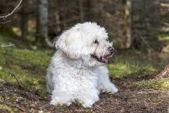 Den lilla vita hunden som flåsar som det, tar en vila på en Forest Walk Arkivfoto
