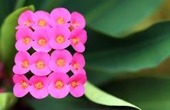 Closeup av Euphorbiamiliien Royaltyfria Bilder
