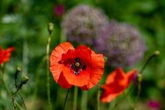 Den livliga röda papaverrhoeasvallmo blommar oavkortat solsken royaltyfri fotografi