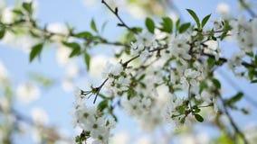 Den ljusa bakgrunden av ett blomstra Apple tr?d i v?r stock video