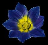 Den ljusa blåa blomman av en dahlia på svarten isolerade bakgrund med den snabba banan Blomma för designen, textur, vykortet, oms Arkivfoton