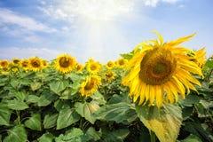 Den ljusa blomstra solrosen blommar under den ljusa solen Royaltyfri Fotografi