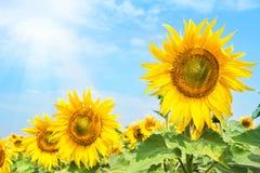 Den ljusa blomstra solrosen blommar under den ljusa sommarsolen Fotografering för Bildbyråer