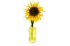 Den ljusa gula blomman av solrosen i en glass vas isolerade framdelen arkivfoto